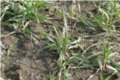Jesienny program ochrony zbóż ozimych