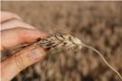 Wiosenny program ochrony zbóż kłosowych