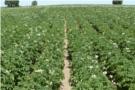 Program ochrony ziemniaka